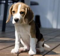beagle-301x280