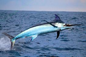 swordfish-2